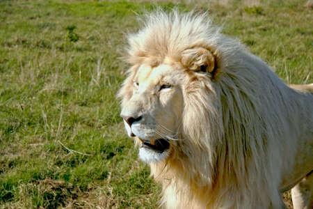 大きな白いライオンのオス 写真素材