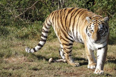 hungry Bengal tiger turning around a bone