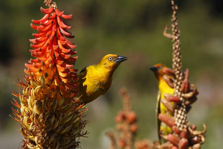 two weavers eating nectar from a aloe plant Stock Photo