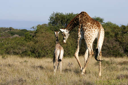 nudging: giraffe mother nudging her young child along