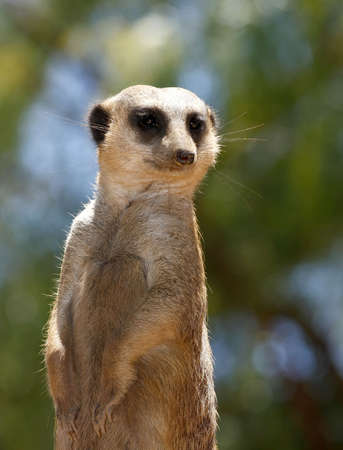 beautiful portrait of a mature meercat sitting and looking around