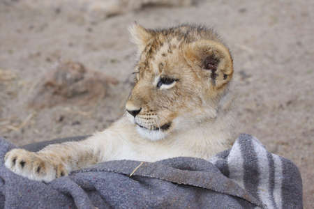 young lion cub lying in a basket
