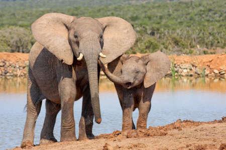 彼女の子牛のいくつかの愛情を示す母象