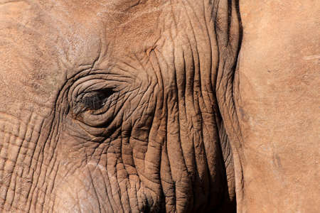picture of a close view of a elephant eye and wrincled skin Stock Photo