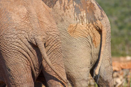 small butt:  behinds of two large african elephants in the wild Stock Photo