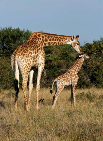 mother giraffe showing her young some love