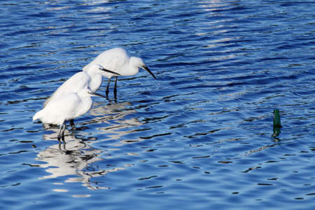 and egrets: three little egrets standing and looking at a bottle in a river Stock Photo