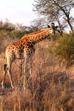 thorn bush: young giraffe bending and looking over a thorn bush