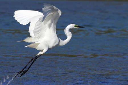 great egret flying off after catching some fish Stock Photo