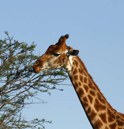 giraffe standing and eating leaves of a acacia tree photo
