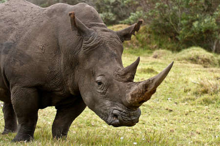 sturdy: Large male rinoceros about to graze