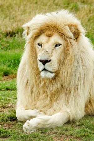 beautifull male white lion resting in the hot african sun