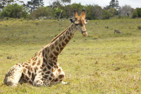 young Giraffe lying on the ground and resting photo