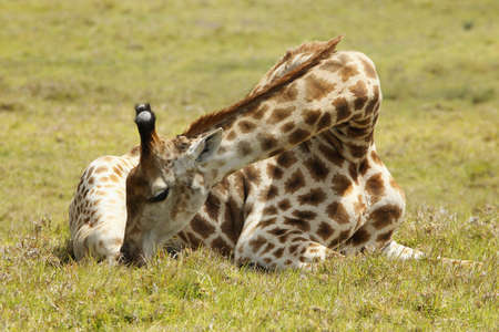 beautifull giraffe resting on a hot summers day Stock Photo - 8630094