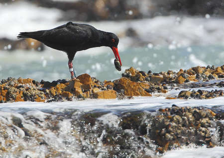 oyster catcher with food in its mouth