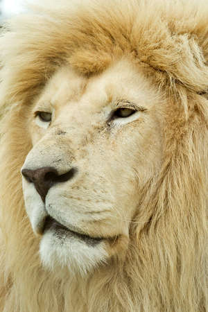 awesome large male white lion profile on a hot day in africa photo