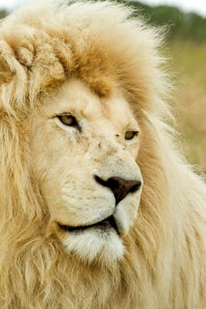 beautiful white lion looking sad in the mid day sun Stock Photo