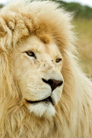 Bella leone bianco alla ricerca triste della metà giornata sole Archivio Fotografico - 8947305