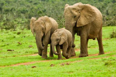 animales safari: familia de elefante caminando hacia un agujero de agua Foto de archivo