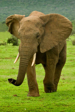 Large male elephant walking on a hot summers day