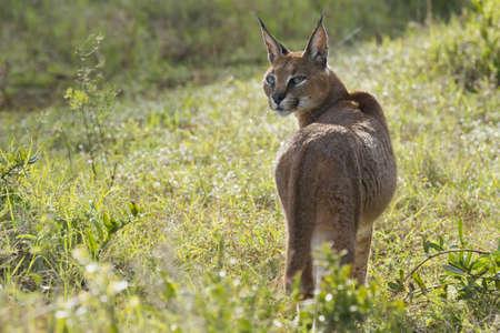 カラカル猫食品の検索で長い草を歩く 写真素材