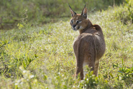 caracal cat walking through the long grass in search of food