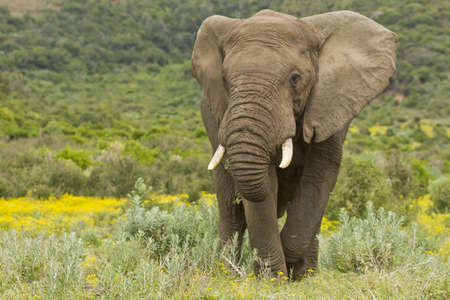 Large africal elephant eating in a field of yellow flowers