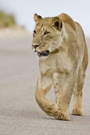 Lioness walking on the road in the morning sun looking for food photo