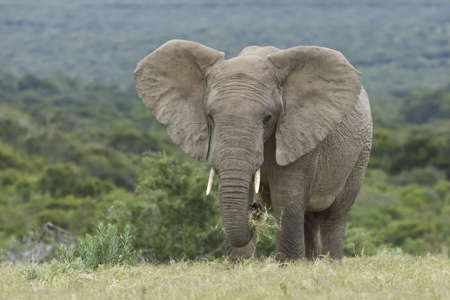 Large elephant eating green grass with ears wide