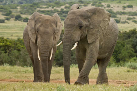 two elephants standing at a water hole surrounded by grass