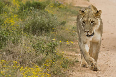 Lioness walking next to a gravel road in the summer sun Stock Photo - 15879259