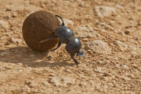 Dung beetle rolling some dung in the early morning sun photo
