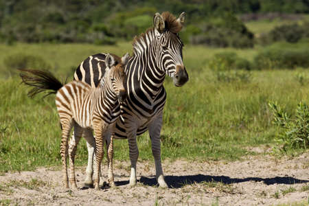 Zebra mother and one of her young standing in the hot summer sun