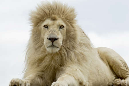 Male white lion lying and staring while looking very hungry  photo