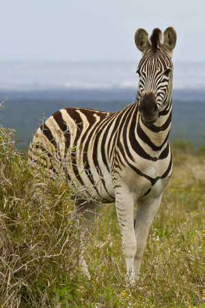 thorn bush: Zebra standing next to a thorn bush in the morning sun Stock Photo