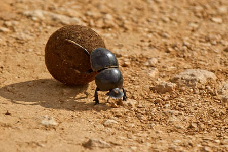 dung beetle pushing a ball of dung backwards in the morning sunlight Stock Photo