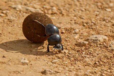 escarabajo: escarabajo empujando una bola de esti�rcol hacia atr�s en el sol de la ma�ana Foto de archivo