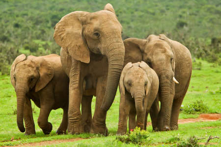 family of elephants walking towards a water hole for a drink