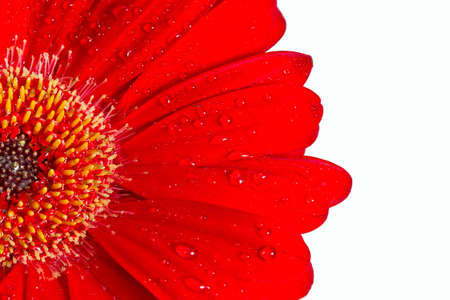 macro shot of a red Gerbera daisy with water on its petals Stock Photo - 25276761