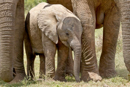 south africa soil: Young Elephant standing between its parents legs for protection
