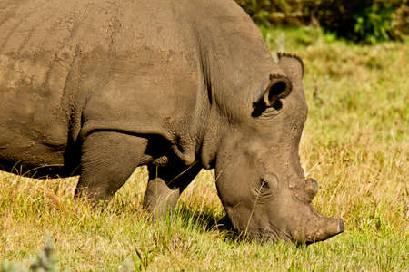 large white rhino grazing grass with a sawn off horn