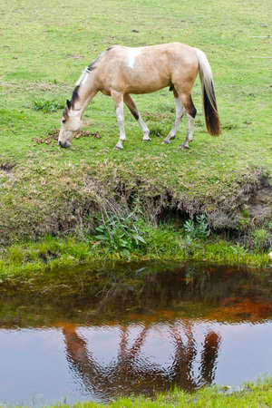 light brown horse: light brown horse grazing with its reflection in a stream below
