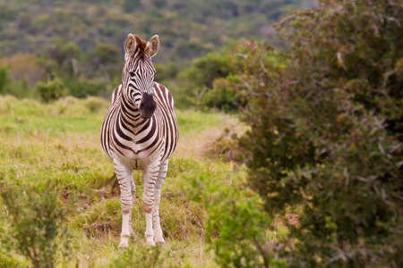 thorn bush: zebra standing in a clearing with a thorn bush to the one side Stock Photo