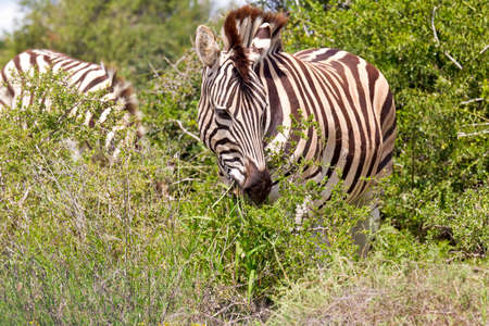 thorn bush: zebra standing and eating green leaves from a thorn bush