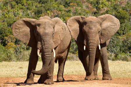 ELEFANTE: dos elefantes jóvenes de pie y empujando unos a otros de lado a lado Foto de archivo