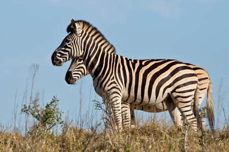 africa kiss: two zebra standing and looking straight ahead in the early morning sunlight