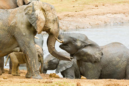 big5: young elephants covered in mud playing in a water hole