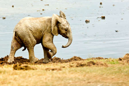 big5: elephant male walking around a waterhole covered in dry sticky mud