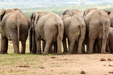 close together: Herd of elephants standing close together at the edge of a watering hole