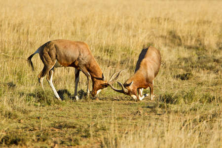 frolicking: Two red hartebeest sparing with sharp horns in long dry grass Stock Photo